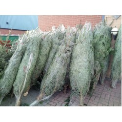 Christmas Trees Available  order straight away and make money this year