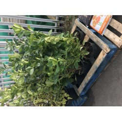 Laurel hedging shrubs available at low prices