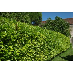 Laurel hedging for sale - wholesale hedging supplies lowest prices