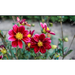 Dahlia topmix purple tuber bulbs wholesale